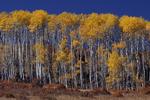 Fall Aspen trees, Colorado
