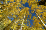 Fall Aspen trees reach to the sky, San Isabel National Forest, Colorado