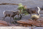 Two Desert Bighorn Sheep Rams taking turns rubbing a Pine Tree with their horns,  Zion National Park, Utah