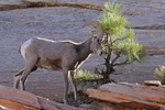 Desert Bighorn Sheep Ram rubbing a Pine Tree with his horns, Zion National Park, Utah