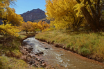 Fall Cottonwoods and Sulfer Creek, Capitol Reef National Park, UT