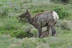 Elk Mother nursing her newborn calf, Yellowstone National Park, MT