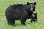 Black Bear Mother and cub, Yellowstone National Park, WY