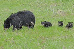 Black Bear Mother with three cubs, Yellowstone National Park, WY