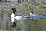 Common Merganser ducks, male and female, Grand Teton National Park, WY