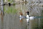 Common Merganser ducks, female and male, Grand Teton National Park, WY