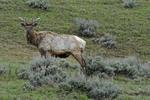 Bull Elk in velvet, Spring season, Yellowstone National Park, WY