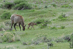 Elk Mother with her newborn calf, Yellowstone National Park, MT