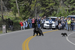 "A classic ""bear jam"" of people and traffic stopped for a Mother Black Bear and her cub crossing the road in Yellowstone National Park, WY."