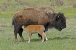 Bison Mother nursing her calf, Yellowstone National Park, WY