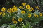 Arrowleaf Balsamroot flowers, near Wilson, WY