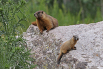 Yellow-bellied Marmot Mother and pup, White River National Forest, Colorado