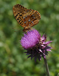 Coronis Fritillary butterfly on a Thistle flower, Gunnison National Forest, Colorado