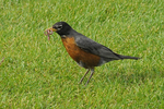 American Robin holding a worm in its mouth, Colorado