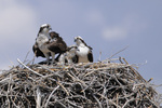 Osprey on the nest, two adults and two chicks, Colorado