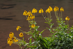 Orange Sneezeweed wildflowers, Maroon Bells Scenic Area, White River National Forest, Colorado