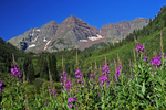 Fireweed wildflowers and the Maroon Bells, Maroon Bells Scenic Area, White River National Forest, Colorado