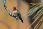 Broad-tailed Hummingbird male at rest, Colorado