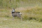 Young Mule Deer, Fall season, Colorado