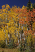 Red and Yellow Fall Aspens, Colorado