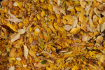 Fall Cottonwood leaves on water, John Denver Sanctuary, Aspen, Colorado
