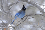 Steller's Jay, Winter Season, Colorado