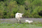 White Cow and calf with Bluebonnets, Ellis County, Texas