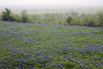 A field of Texas Bluebonnets, Ellis County, Texas