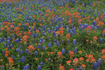 Indian Paintbrush and Texas Bluebonnet wildflowers, Ellis County, Texas