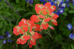 Indian Paintbrush wildflowers, Ellis County, Texas