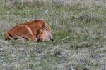Bison calf asleep, Yellowstone National Park, WY