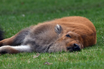Bison calf sleeping, Yellowstone National Park, WY