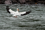 White Pelican landing on the Snake River, Grand Teton National Park, WY