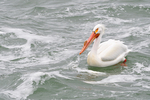 White Pelican on the Snake River, Grand Teton National Park, WY