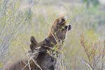 Bull Moose in velvet, Spring season, eating willows, Grand Teton National Park, WY