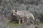 Coyote, Spring season, Grand Teton National Park, WY