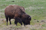 Yellow-headed blackbirds with a grazing Bison, Yellowstone National Park, WY