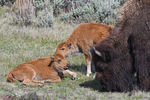 Bison Mother and calves, Spring season, Yellowstone National Park, WY
