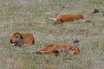 A group of three Bison calves resting and asleep, Spring season, Yellowstone National Park, WY
