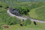 Cow Mother and calves watching the train coming, Cumbres & Toltec Scenic Railroad, New Mexico
