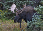 Bull Moose, Fall Season, State Forest State Park, Colorado