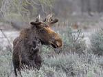 Bull Moose in velvet, Spring Season, Grand Teton National Park, WY