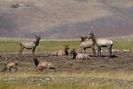A Bull Elk courting a female Elk in the Fall rutting season, Colorado