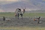 A Cow Elk mounting a Bull Elk in the Fall rutting season, Colorado