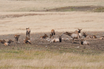 A Bull Elk with his harem in the Fall rutting season, Colorado