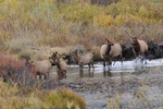 Bull Elk and Cows, Fall season, Colorado