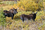 Bull Moose courting a female Moose in the Fall rutting season, State Forest State Park, Colorado