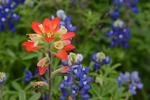 A single Indian Paintbrush wildflower, Texas