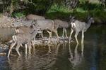 Mule Deer Doe and Fawns, Fall Season, Colorado