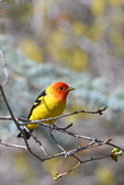 Western Tanager male in breeding plumage, Colorado
